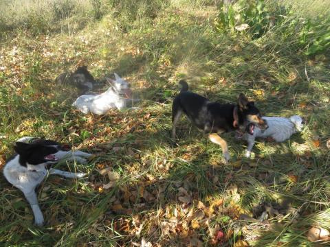 Собаки деда-собирателя