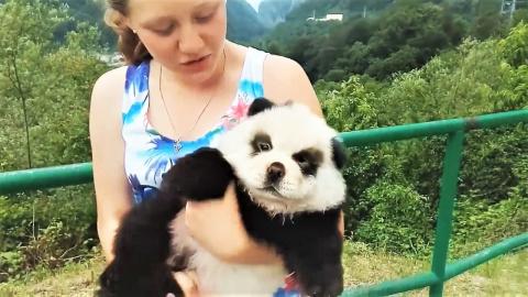 Я не панда - я собака ( Приколы с собаками декабрь )