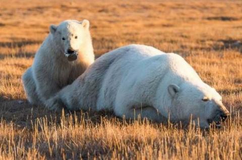 Спасение медвежонка, у котор…