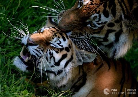 Вы все знаете об Амурских тиграх?