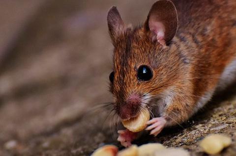 «Угощение» для грызуна. Эффективный способ избавиться от мышей на даче