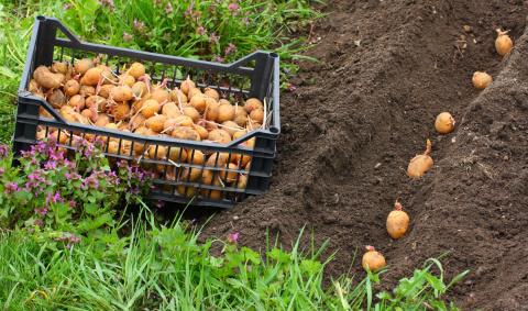 6 видов посадки картофеля