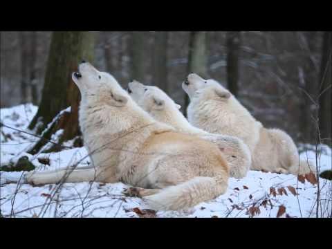 Полярные волки, услышав вой …