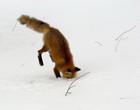 А лисица - в угол!