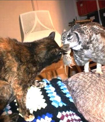 Парень подобрал и выходил раненую сову. А она теперь охотится для всей семьи. Даже для кота!