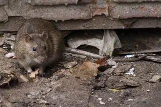 Дикая крыса напала на кота и укусила его (видео). Слабонервным не смотреть.