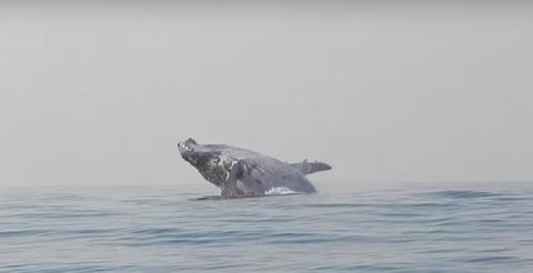 Горбатый кит вообразил себя …