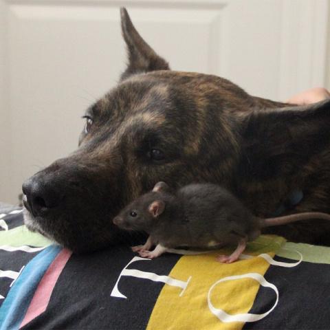 Семья спасла этого крысенка, когда ему было всего 4 недели... Но они никак не ждали такого исхода!