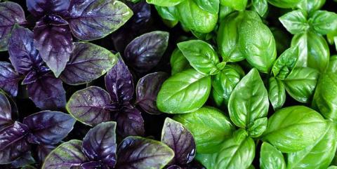 Обязательно сажайте базилик на одной грядке с другими овощами!