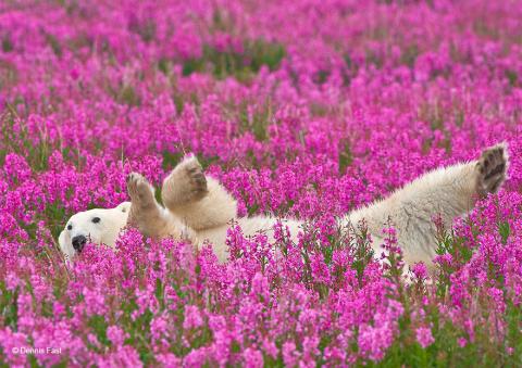 КОШКИН ДОМ. Белые медведи