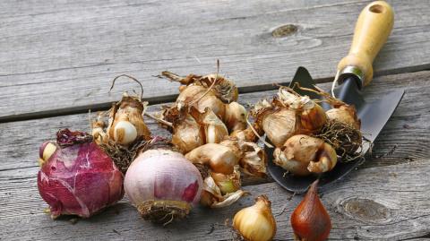 Озимые луковицы