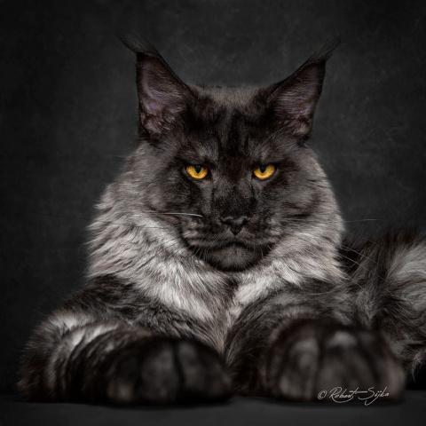 Американская енотовая кошка …