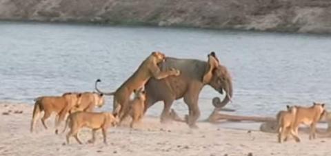 Как слоненок победил 14 кров…