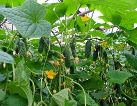 Голландская технология выращивания огурцов в теплице