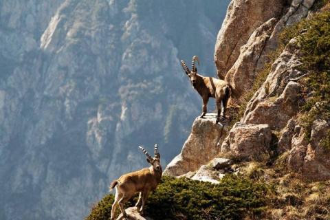 Остросюжетная сцена погони волка за горным козлом в Эйн Геди