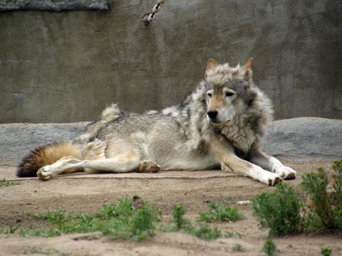 Парень  решил показать свою молодецкую удаль девицам и засунул ногу в вольер, подразнить волка...
