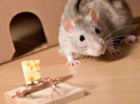 Как избавиться от крыс в дом…