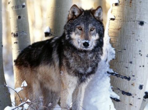 Волчья стая (непридуманная история)