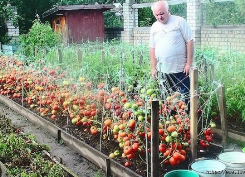Дедовский рецепт - урожай томатов