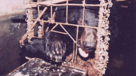 Во Вьетнаме освободят тысячу содержавшихся на фермах медведей