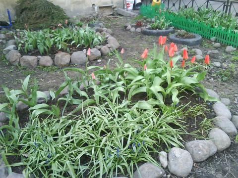 У меня на газоне уже цветут тюльпаны