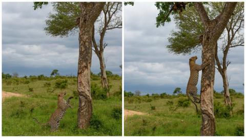 Как кровожадный леопард-каннибал стащил с дерева своего сородича
