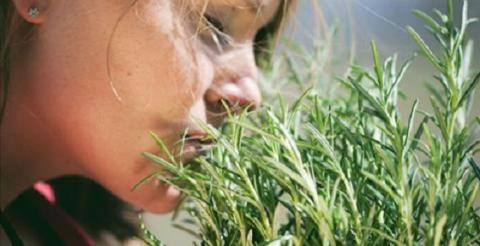 По мнению ученых, запах розмарина улучшит Вашу память