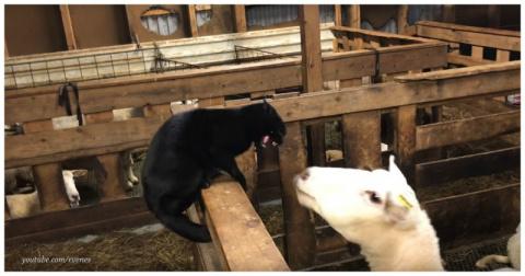 Месть овцы задиристому коту