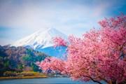 Сакура в Японии зацвела рань…