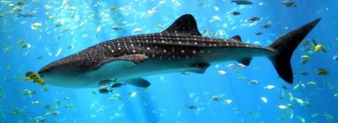 Китовая акула и ее родственники