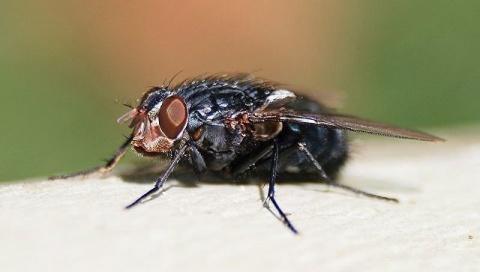 Опаснее, чем кажутся: ученые объяснили, почему нужно бояться мух