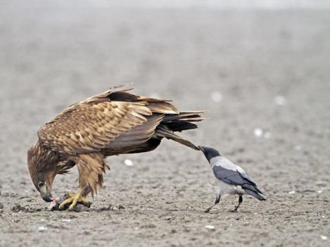 Вороны - самые наглые сущест…