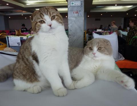 котята породы скоттиш-фолд и скоттиш-страйт