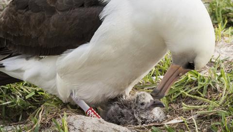 У старейшей в мире морской птицы в возрасте 66 лет вылупился птенец