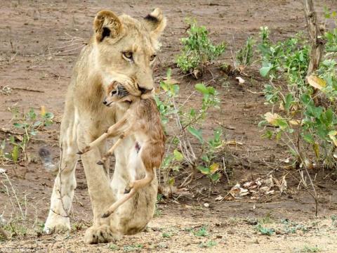 Невероятно! Лев заботится о детеныше антилопы