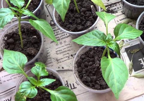Готовим семена перцев и баклажанов к посадке