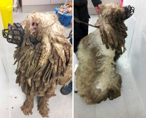 Шерсть этой собаки так сильно свалялась, что спасатели спутали ее с овцой