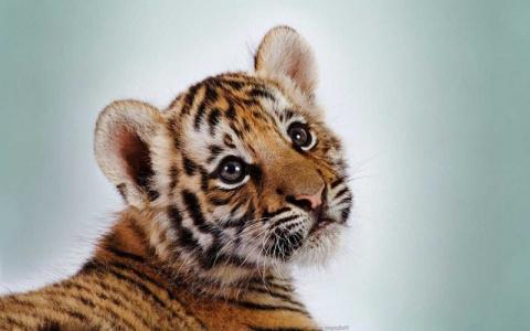 Интересное о тиграх и тигрин…