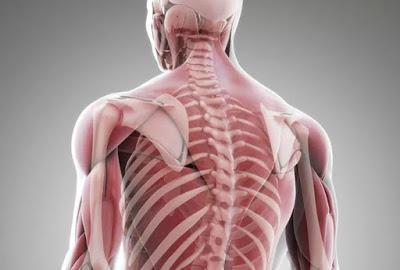 Секрет наших мышц, откладыва…