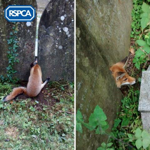 В Великобритании спасли лису…
