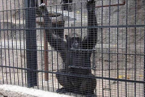 Впервые в истории суд освободил шимпанзе из зоопарка