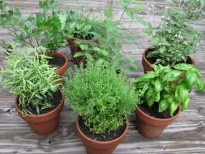 7 правил выращивания пряных …