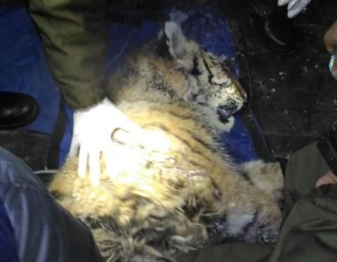 В Приморье ветеринары борются за жизнь раненого браконьерами тигренка