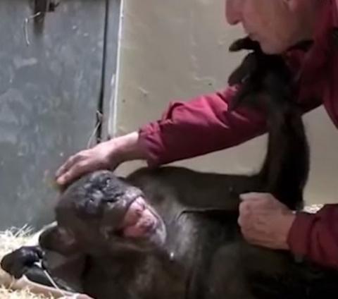 59-летняя шимпанзе прощается…