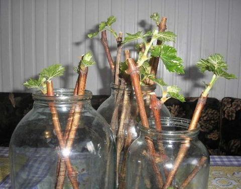 Саженцы смородины за три месяца - время заготавливать черенки!