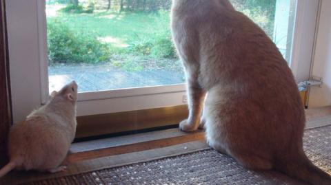 ТЕРЕМОК. Необычная дружба кота и крысы
