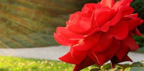 Лепестки роз сделали солнечные батареи эффективнее