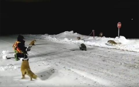 Как в Якутии рабочие лис и росомаху кормили