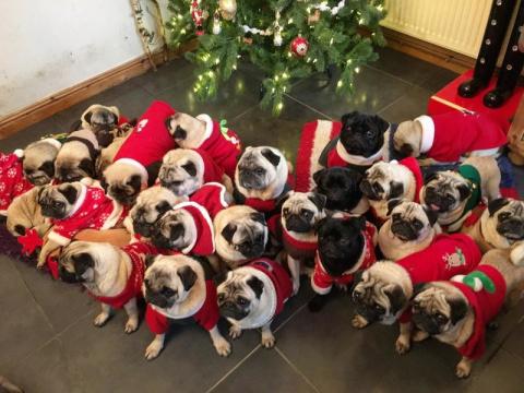 Британка потратила больше тысячи фунтов на подарки своим 30 мопсам