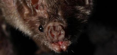 Летучие мыши-вампиры впервые…